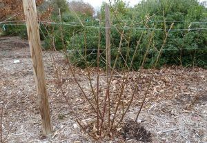 2013-feb-19-blackberry-pruning-day-after-1