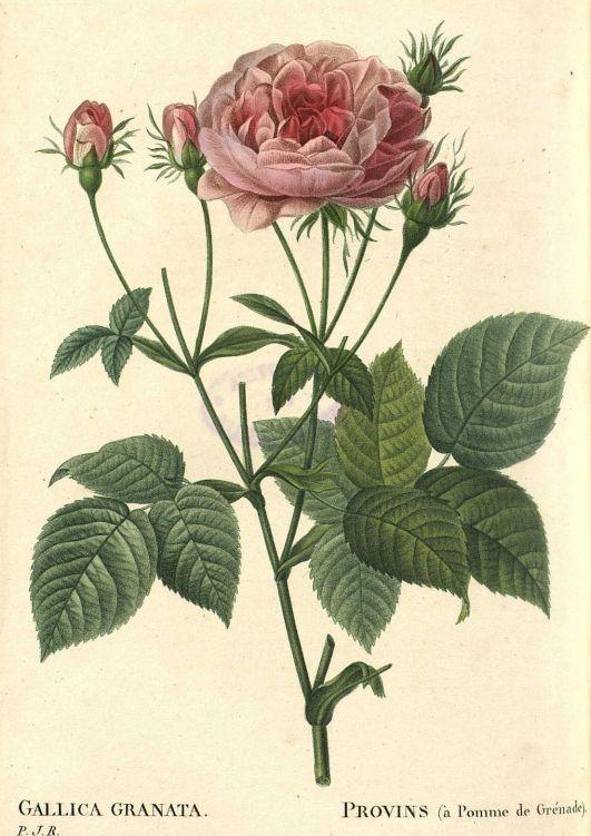 17 best images about pierre joseph redoute on pinterest for Biblioteca digital real jardin botanico