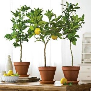 Bringing the outdoors in during dreary winter months! I want to grow lemon, pear, and apple trees next year!