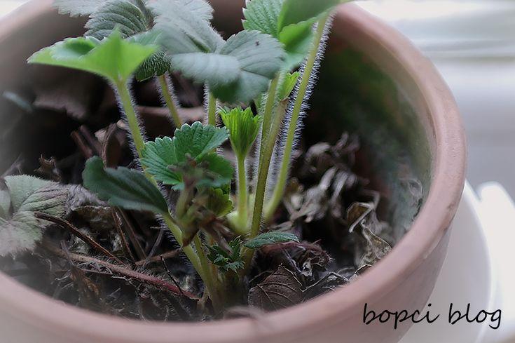 Imádom az epret! :) #konyhakert #eper #folytontermő http://bopci.hu/a-mi-kis-tanyank-nagyvarosi-elet-egy-mini-farmon/tavaszt-erez-a-csungo-eprem-konyhakert-a-konyhaablakban/