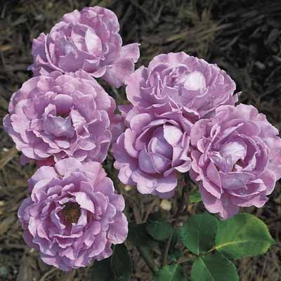 ANGEL FACE ROSE - Had these at my old house. Andrea Tierney, my purple sister, thought you'd enjoy this.