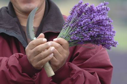 how to start a lavender business