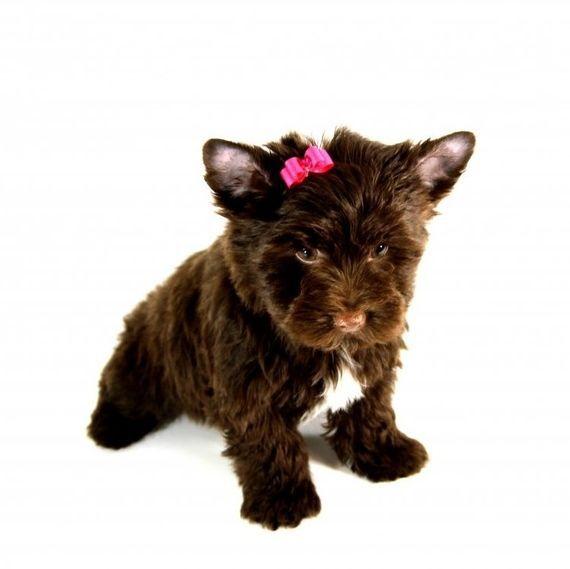 Bambi Yorkshire Terrier Puppy Puppyspot Puppies Yorkshire Terrier Yorkshire Terrier Haircut Terrier
