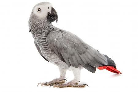 Les perroquets bientôt pucés : redécouvrez la vidéo du perroquet gris du Gabon 'Anti Standard' - laprovince.be