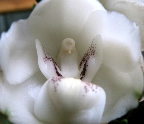 Amazing orchids that look like animals.     Dove Orchid, Peristeria elata