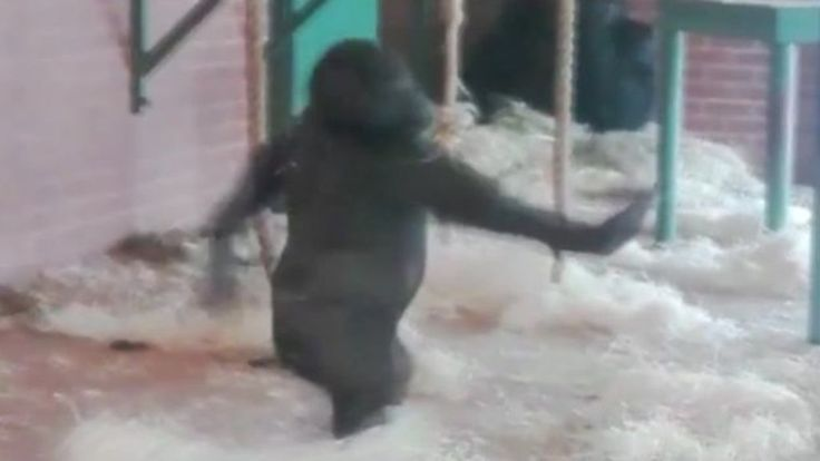 A dancing gorilla video goes viral with more than one million people viewing the pirouetting primate.