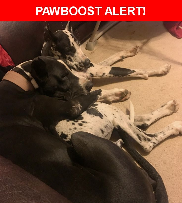 Please spread the word! Titus was last seen in Perryville, AR 72126.  Description: Black and White Mantle Great Dane  Nearest Address: Highway 60 Nimrod, AR