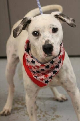 PRESUMED DEAD LAST EMAIL APRIL 18>NAME: Pepper ANIMAL ID: 34951192 BREED: Dalmatian Mix SEX: Female spayed EST. AGE: 1 yr Est Weight: 38 lbs Health: heartworm neg  Temperament: dog friendly, people friendly  ADDITIONAL INFO: RESCUE PULL FEE: $35  Intake date: 3/27 Available: NOW