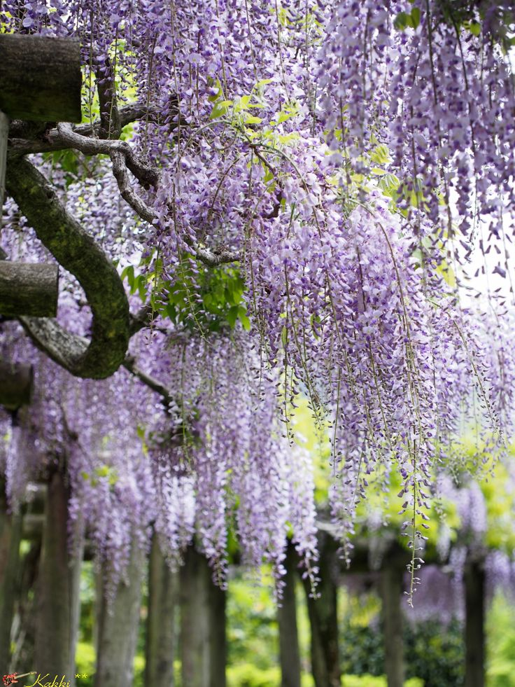 1000 images about wisteria on pinterest wisteria tree for The wisteria