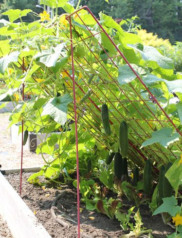 Large Cucumber Trellis. put this down in far part of yard where it is sunny and far away from the house.
