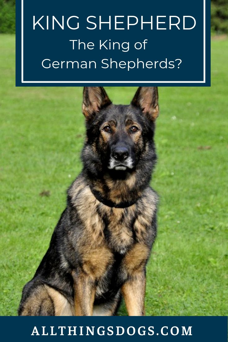 The King Shepherd : The King Of German Shepherds? | King ...