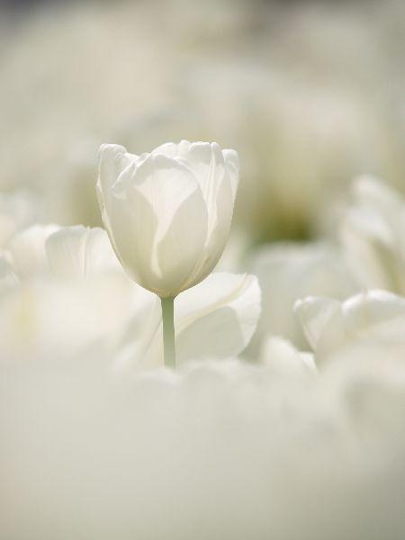 white tulips, tulipanes blancos, #flores blancas http://www.carelia.es/productos-cosmeticos-para-bebes-y-ninos/13-colonia-para-ninos-y-bebes.html
