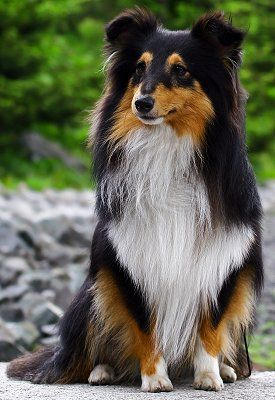 THIS IS A SHELTIE I ALSO HAVE ONE BUT HIS COLORING IS LIKE LASSIE'S  E HAMM.