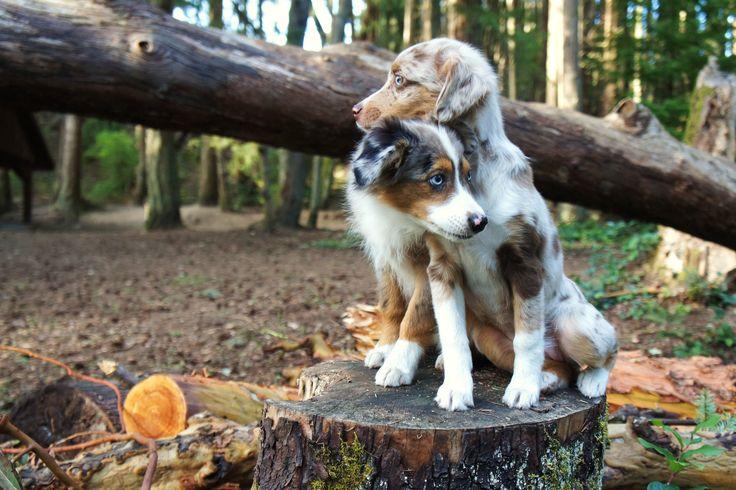 miniature australian shepherd. blue merle. red merle. puppy. dog. bear and cleo.
