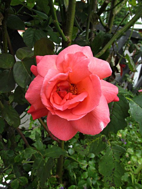 Rose in our garden
