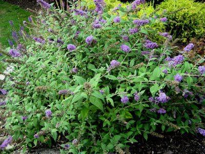 Lo & Behold Bluechip Dwarf Butterfly Bush