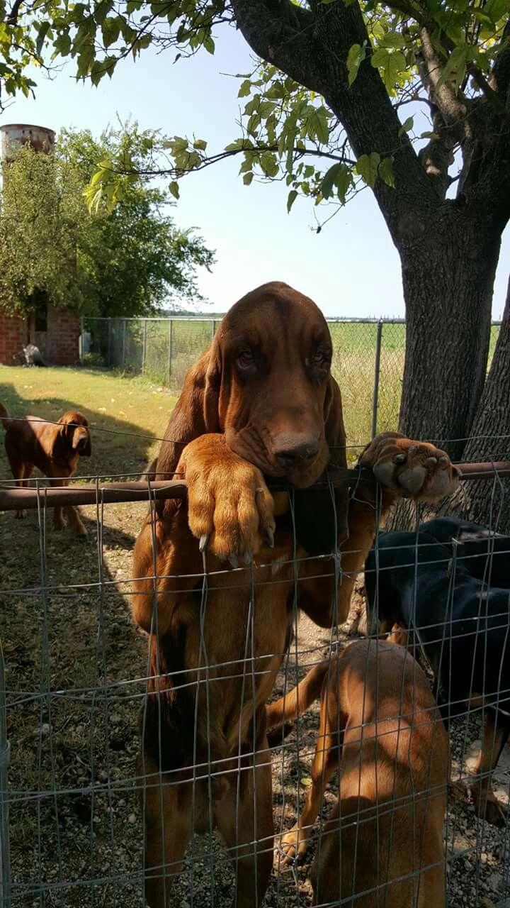 best blood houndsan huberto images on pinterest bloodhound