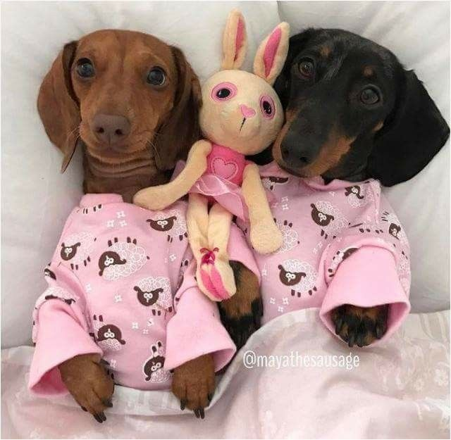 Dachunds Wearing Pjs Weiner Dog Weenie Dogs Miniature Dachshunds