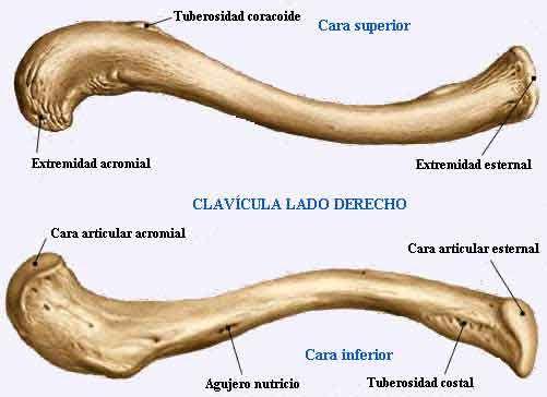 anatomia claviculei)