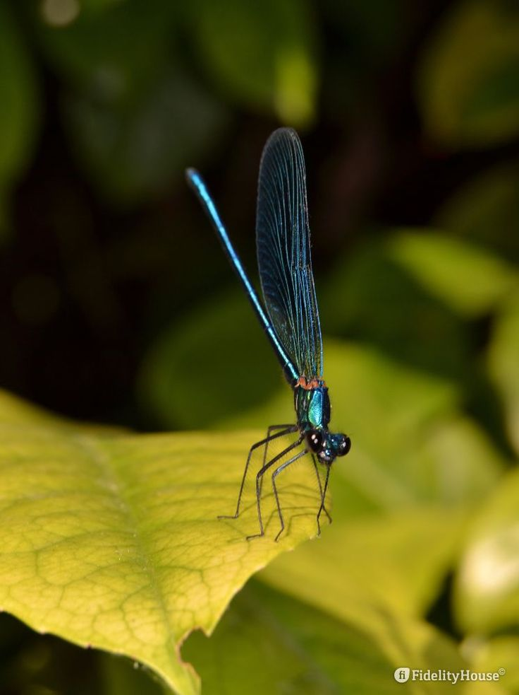 Verde bottiglia è il colore di questa libellula che brilla ai riflessi del sole. Dopo mille giri, finalmente si è calmata e si è messa in posa per la foto.