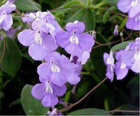 streptocarpella rocky roadpurple flowersflower powerhouseplants