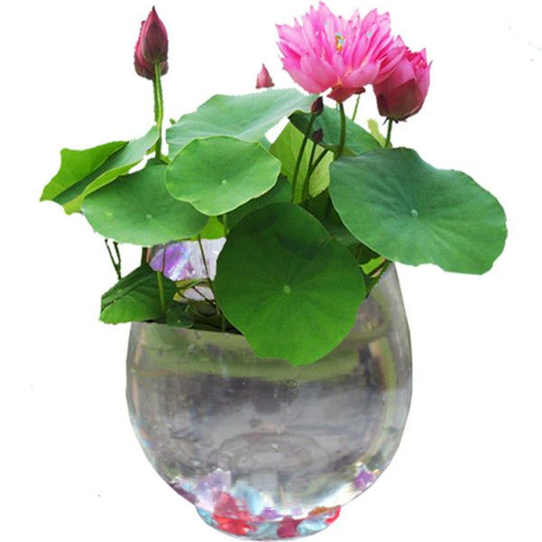 2017 10 Seeds/Pack Balcony Hydroponic Bonsai Nelumbo Nucifera Seeds Hydrophyte Seeds Lotus Flower Seed From Novelty_1, $9.05 | Dhgate.Com