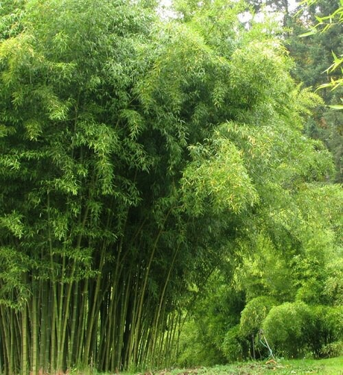 Bamboo flowers trees amp other amazing plants pinterest
