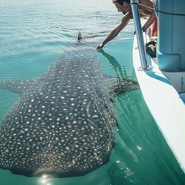 Tag someone who loves the ocean Whale shark in La Paz #mexico . @lapazviptours