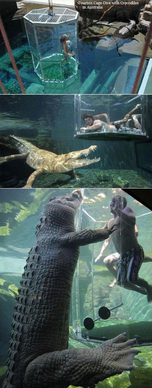 Tauchen Sie mit Krokodilen in diesem klaren Käfig…