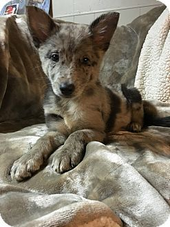 norridge, IL - Australian Shepherd/German Shepherd Dog Mix. Meet Bonnie, a puppy for adoption. http://www.adoptapet.com/pet/15104527-norridge-illinois-australian-shepherd-mix