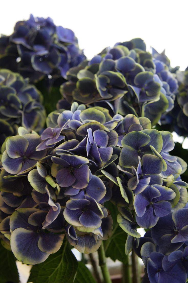 hydrangea mars blue