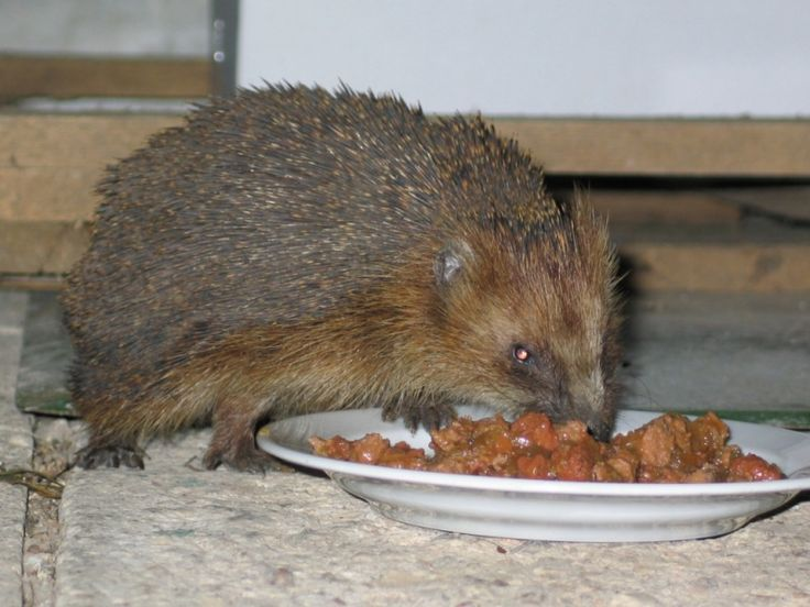 Ježek Franta chodil každý večer, když jsme se opozdiĺi s večeří, tak zlostně dupal a funěl