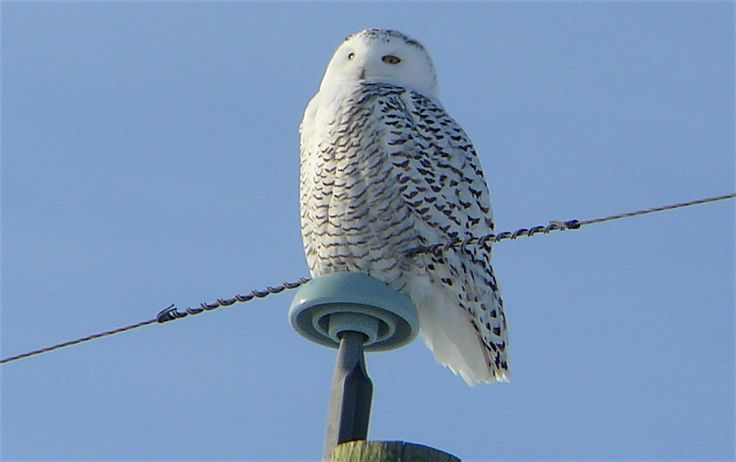 Snowy Owl east of Calgary.
