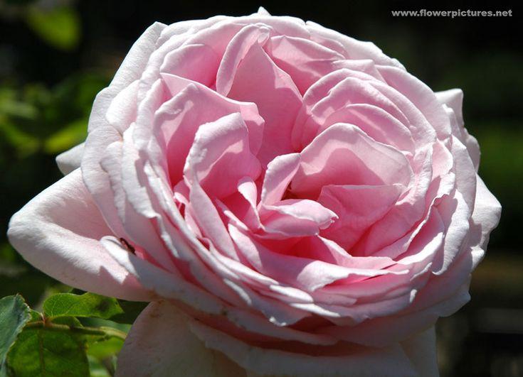 hybrid tea 39 frederic mistral 39 roses and flowers. Black Bedroom Furniture Sets. Home Design Ideas