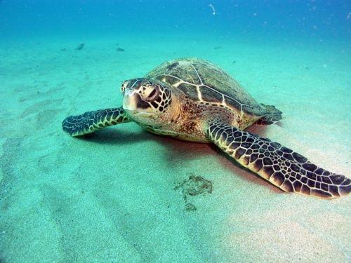 Ein besonders gelungenes Bild einer Unterwasser Schildkröte in der Bucht von Bora Bora die auch von dem glasklaaren Wasser Qualität überzeugt