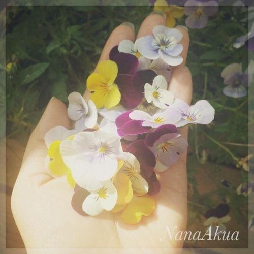 先ほどのUVレジンの指輪のBeforeな状態、花を収穫。このあと押し花になる。  They are also going to be pressed flowers.  #pressedflowers #viola #violaflowers #homegarden #flower #garden #handmade #押し花