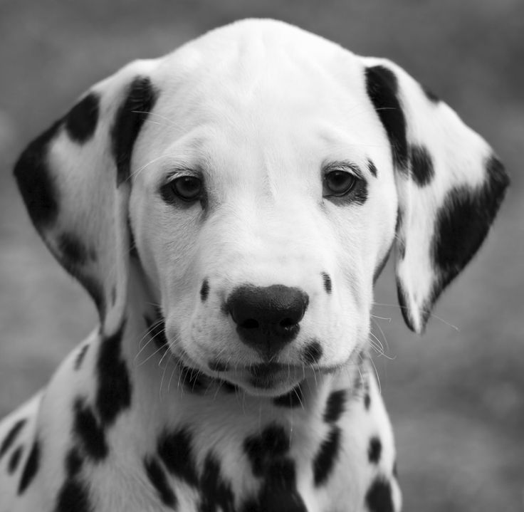 Dalmatian puppy in Tennessee USA