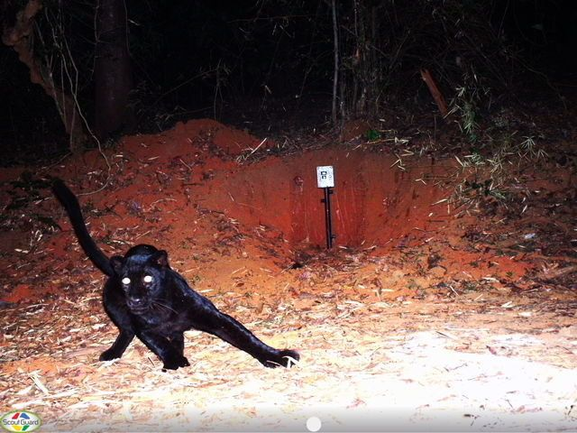 A spectacular melanistic leopard caught on camera trap in the Kali Tiger Reserve PHOTO (c) Forest Department Kali Tiger Reserve