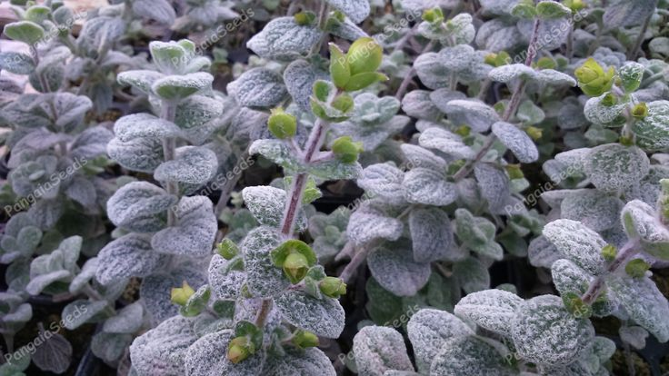 Origanum dictamnus seeds | PangaiaSeeds.com Herb Seeds