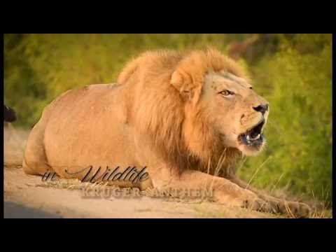 Male Lion Roaring - Kruger Anthem (by inXS Wildlife)