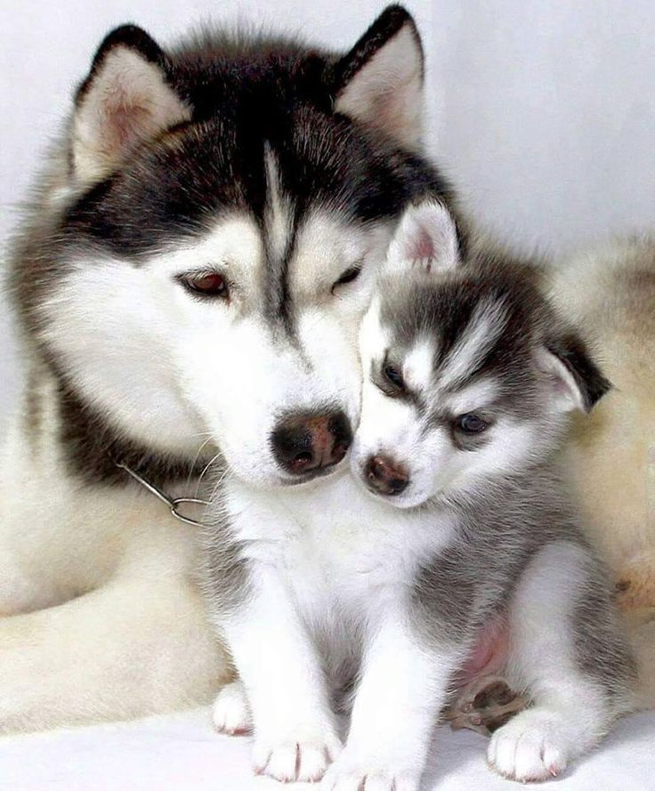 17 Best Images About (Love) Siberian Huskies On Pinterest