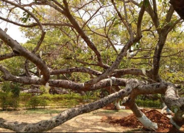 Poor sap! Dying 700-year-old Banyan tree that\u0027s a tourist attraction