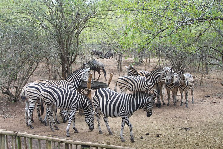 Zinkwazibush, situated in Marloth Park, Kruger National Park & Lowveld, Mpumalanga, is where you can find your most memorable bush experience, with all the luxury you deserve.  See more of  Zinkwazibush http://www.wheretostay.co.za/zinkwazibush/