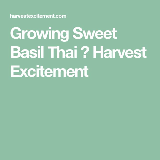Growing Sweet Basil Thai ⋆ Harvest Excitement