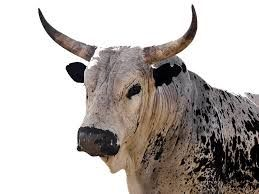 nguni photographs and images - Google Search