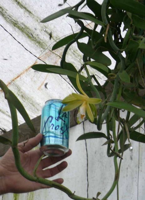Vanilla Orchid Vanilla Planifolia How Does Your Garden