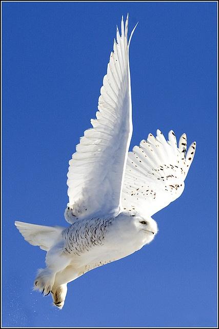..Owl (Snowy) - 0435 by Earl Reinink..
