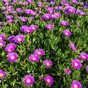 NATIVE PIG FACE - Carpobrotus rossii - A hardy Australian native ground cover bright pink daisy flowers throughout most of the year with the main flush in spring and summer. Is drought hardy and suitable for sandy soils. Prefers a full sun position and is suitable for pots. Supplied in a 50mm pot