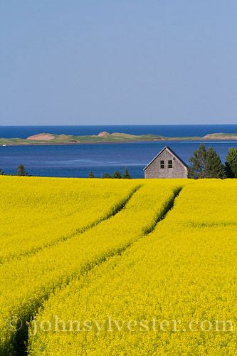 Canola field in blossom in July at Springbrook, Prince Edward Island. Courtesy of John Sylvester Photography.