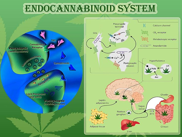"""We're all born with a form of cannabis already in our bodies. It's called the endocannabinoid system… Like it or not, each and every one of us is fundamentally wired to respond to cannabis."""